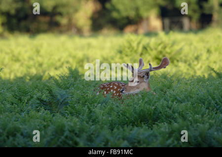 Spotty Fallow Deer (Dama dama) with growing velvet antlers in bracken or ferns - Stock Photo