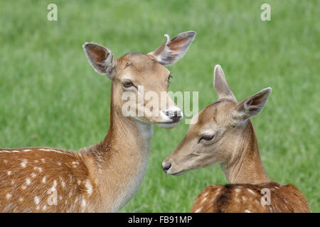 Close-up of a pair of spotty Fallow Deer (Dama dama) in the  park in summer. - Stock Photo