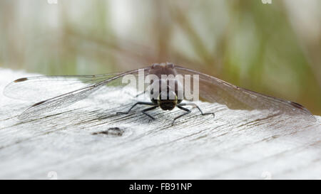 Male Black Darter (Sympetrum danae) perched on a boardwalk. - Stock Photo