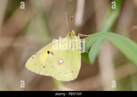 Clouded yellow butterfly (Colias croceus) perched on a reed. - Stock Photo
