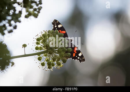 Red admiral butterfly (Vanessa atalanta) drinking nectar from an ivy flower. - Stock Photo