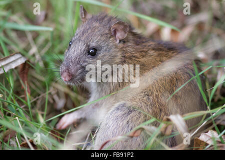 Brown Rat (Rattus novegicus) in the undergrowth. - Stock Photo