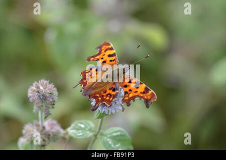 Comma butterfly perched on a flower. - Stock Photo