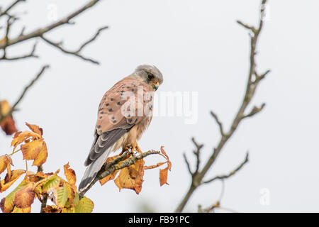 Male Common Kestrel (Falco tinnunculus) perched on an autumnal branch. - Stock Photo