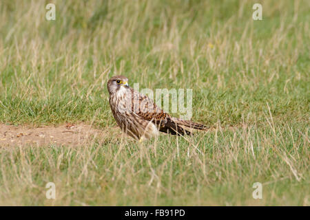 Female Common Kestrel (Falco tinnunculus) foraging for insects on the ground. - Stock Photo