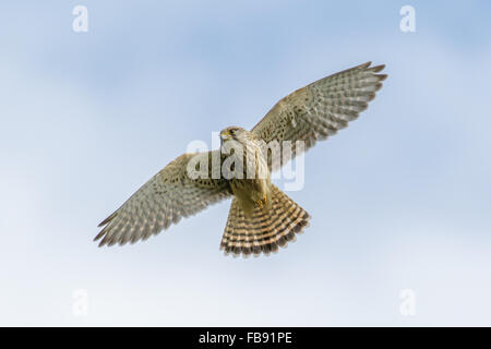 Common Kestrel (Falco tinnunculus) hunting from the air with blue sky - Stock Photo