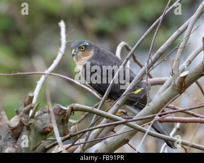 Male Eurasian Sparrowhawk (Accipiter nisus) perched in a bush. - Stock Photo