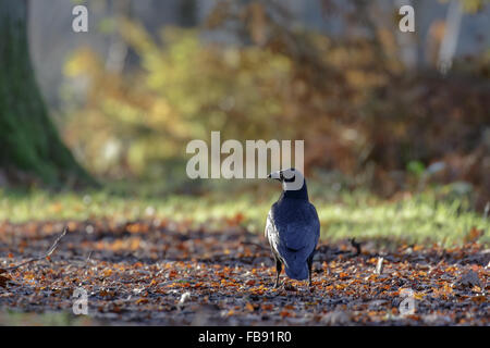 Carrion Crow (Corvus corone) on a leafy, woodland  path. - Stock Photo