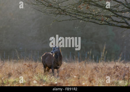 Young male Red Deer (Cervus elaphus) in winter. Stock Photo