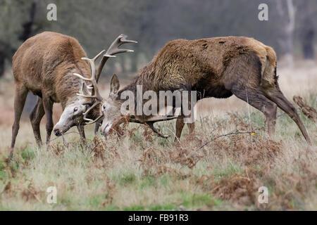 Red Deer rut stags (Cervus elaphus) fighting sparring or dueling in winter. - Stock Photo