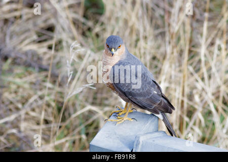 Male Eurasian Sparrowhawk (Accipiter nisus) sitting on an iron fence. - Stock Photo