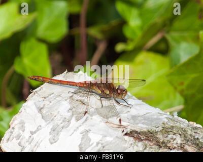 Male Common Darter (Sympetrum striolatum) perched on a Silver Birch log. - Stock Photo