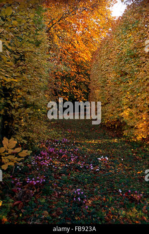 Pink cyclamen growing in path between beech hedges and trees in a large autumn garden - Stock Photo