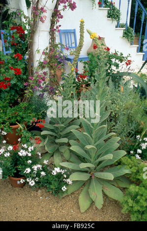Tall Verbascum and white osteospermum in border beside patio with blue painted chairs - Stock Photo