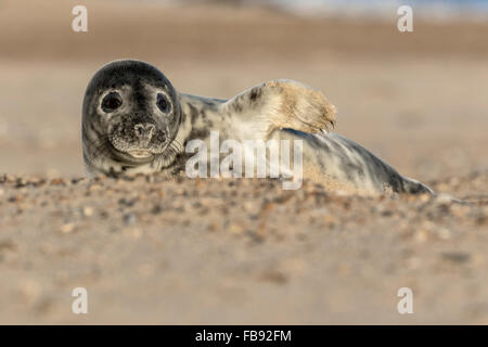 Atlantic Grey Seal - Halichoerus grypus - Stock Photo