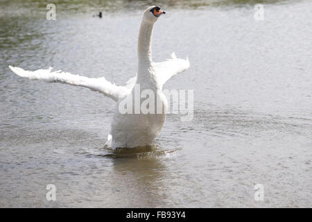 Adult mute swan stretching its wings on a lake - Stock Photo