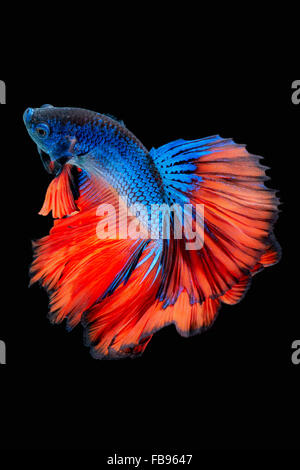 Betta fish, siamese fighting fish, betta splendens  isolated on black background - Stock Photo