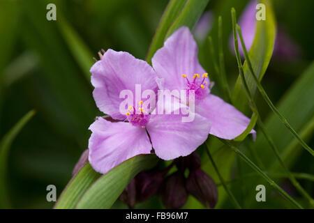Tradescantia 'Concord Grape' flower. Spiderwort in an English garden. - Stock Photo