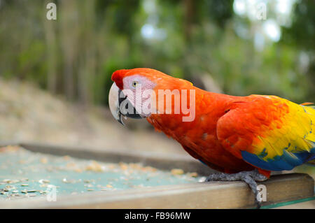 Macaw parrots come for feeding to the archaeological site of Copan Ruins, Honduras - Stock Photo