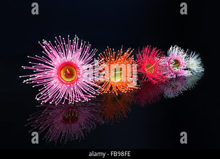Beautiful Eucalyptus flowers in Pink, Orange, Red, Pink, and white, isolated on black background with reflection - Stock Photo