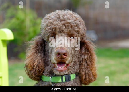 My friend Charlie the standard poodle - Stock Photo
