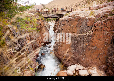 A nomad guide leads his pack camels over a log bridge during a trek in remote Kharkhiraa Turgen National Park, Mongolia. - Stock Photo