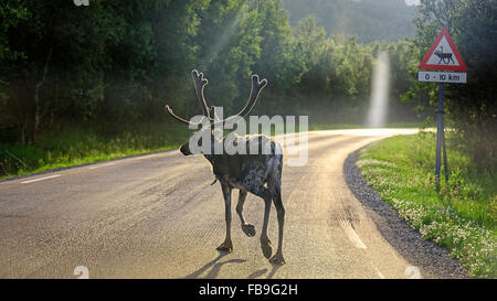 Reindeer (Rangifer tarandus) crossing road, Europa 6, E6, near Alta, Finnmark County, Norway - Stock Photo