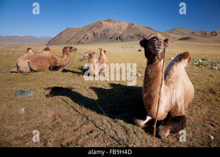 Pack camels staked and tied for grazing, Kharkhiraa Turgen National Park, Mongolia. - Stock Photo