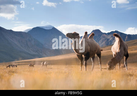 Camels grazing in Kharkhiraa Turgen National Park, far-western Mongolia. - Stock Photo