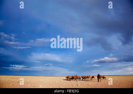A herd of Bactrian camel in the Gobi Desert, Mongolia. - Stock Photo