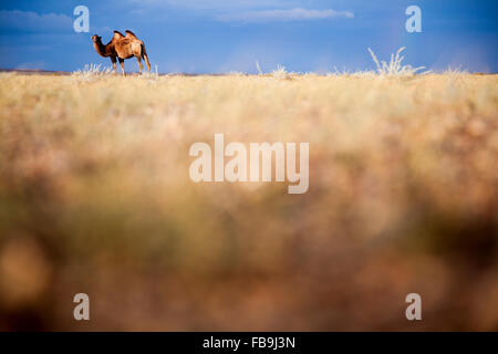 A Bactrian camel in the Gobi Desert, Mongolia. - Stock Photo