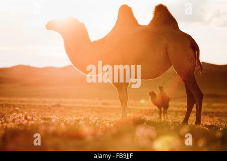 Bactrian camels in the Gobi Desert, Mongolia. - Stock Photo