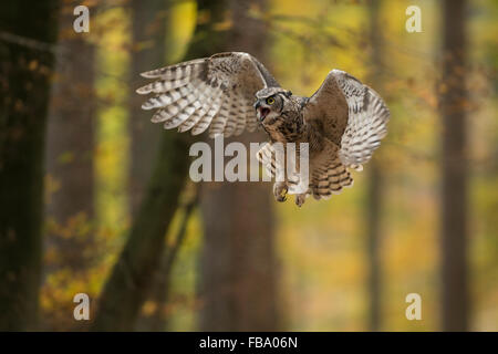 Great Horned Owl / Tiger Owl ( Bubo virginianus ) in aggressive flight through an autumnal colored broadleaved forest. - Stock Photo