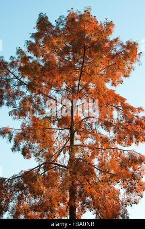 Bald Cypress in autumn, in Retiro Park, Madrid, Spain - Stock Photo