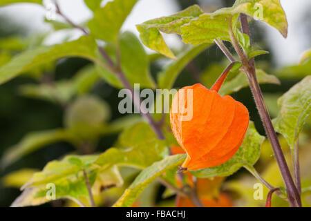 physalis alkekengi chinese lantern fruit also named. Black Bedroom Furniture Sets. Home Design Ideas