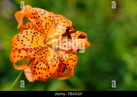 Lilium lancifolium 'Flore Pleno'. An unsual double flowered lily with orange well spotted flowers. - Stock Photo
