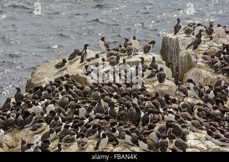Guillemots nesting on a rock face in the Farne Islands, Northumberland England UK - Stock Photo