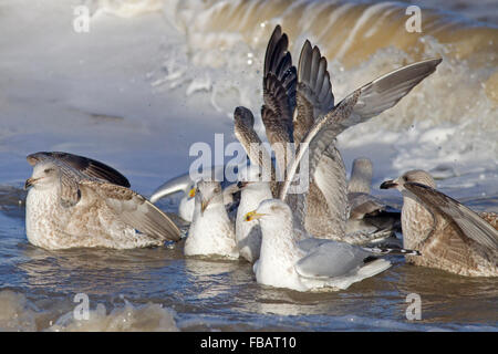 Herring Gull Larus argentatus Immature birds feeding in surf - Stock Photo