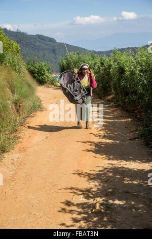 Tea picker on a plantation at Nuwara Eliya near Kandy Sri Lanka, Asia - Stock Photo