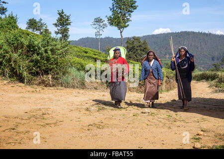 Tea pickers on a plantation at Nuwara Eliya near Kandy Sri Lanka, Asia - Stock Photo