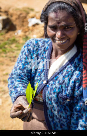 Tamil Tea Picker's hand clutching just plucked leaves. (Camellia sinensis) - Stock Photo