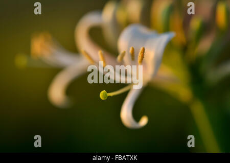 A stem of wild honeysuckle in warm sunlight on a summer evening. - Stock Photo