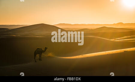 Camel and setting sun in the Sahara - Stock Photo
