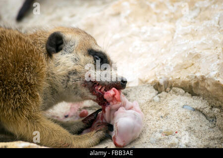 Meerkat (Suricata suricatta) eating a baby bunny - Stock Photo