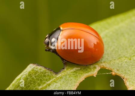 A Spotless Lady Beetle (Cycloneda sanguinea) perches on a leaf. - Stock Photo