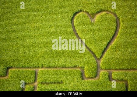 Aerial view, Heart in the corn field, corn maze in a cornfield in Herten, paths in the corn field, green heart, - Stock Photo
