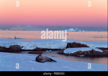 Crabeater Seal on ice and antarctic sunset - Stock Photo