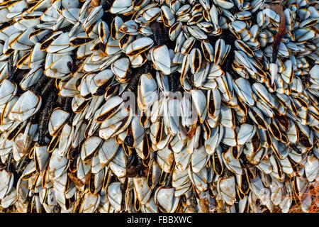 Goose barnacles, Lepas anatifera, attached to flotsam at Freshwater West, Pembrokeshire, Wales, UK - Stock Photo