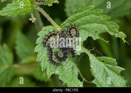 Small tortoiseshell, caterpillar, Kleiner Fuchs, Raupen, Raupe frisst an Brennnessel Blatt, Aglais urticae, Nymphalis - Stock Photo