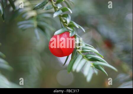 Yew Berry Tree - Close Up - Stock Photo